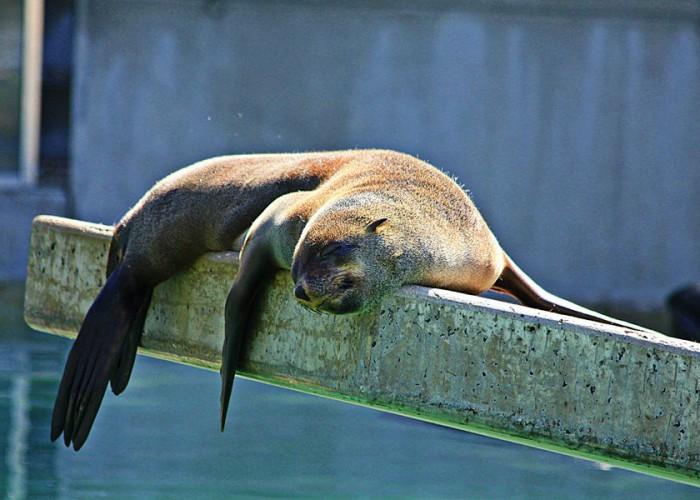 sleeping-seal