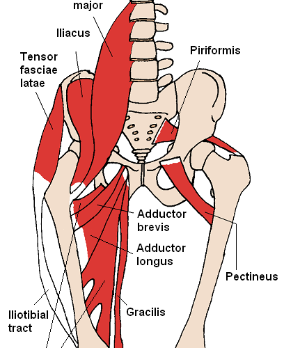 Anterior hip muscle to fix swimmers posture