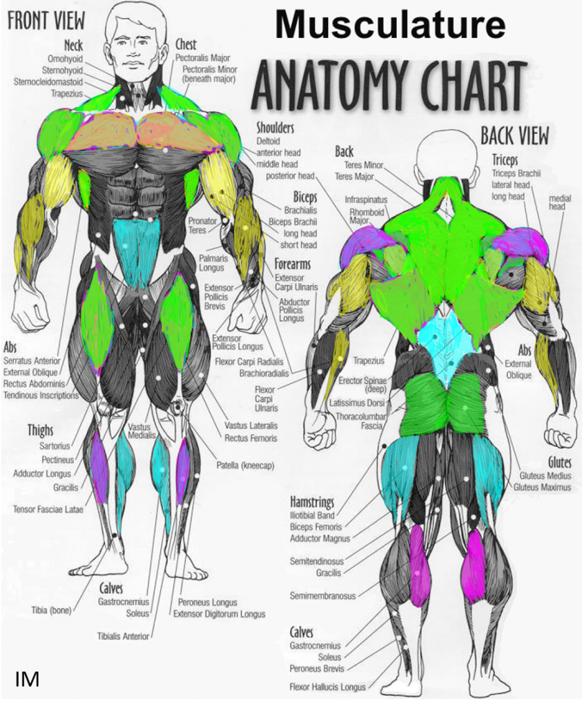 IM muscle groups2
